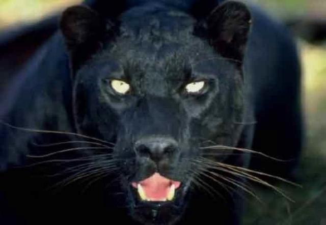 حيوان مفترس مجهول يهاجم حظائر الأغنام ليلا في مسافي عبر الإمارات حوادث و قضايا البيان