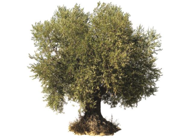 من اجمل الاشجار فى العالم شجرة الزيتون Vouves Image
