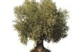 الصورة: الصورة: شجرة الزيتون..  ثقافة الحياة والسلام