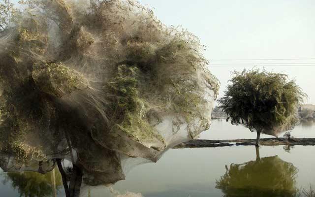 نتيجة بحث الصور عن اشجار العنكبوت في باكستان