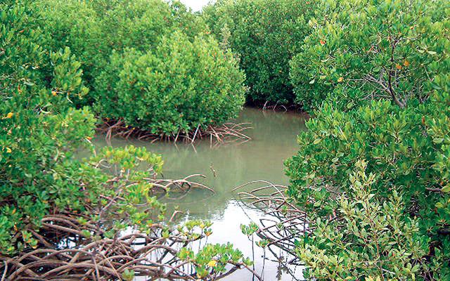 الصورة : الأشجار تقاوم ملوحة المياه بفضل الجذور التي تعمل كمصفاة تصوير ــ محمد منور