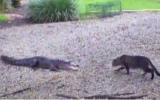 الصورة: شاهد ..مواجهة بين قط وتمساح