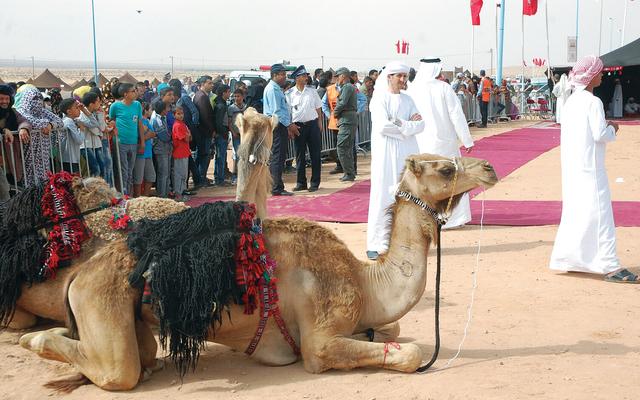 جمل عربي في خيمة الإمارات بالمهرجان