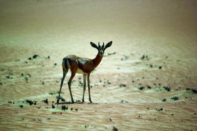 الصورة : محمية المها تزخر بأنواع الغزلان