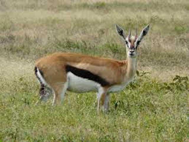 impala animal sound - HD1600×1200
