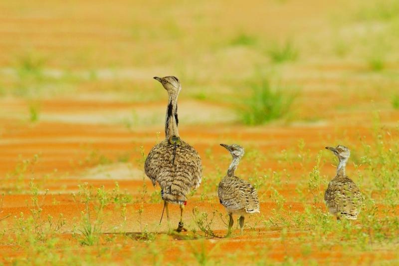 الصورة : إنجازات كبيرة حققتها جهود إماراتية متواصلة لاستدامة طيور الحبارى   البيان