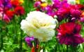 الصورة: الصورة: أماكن لمواعدة الزهور في الصين