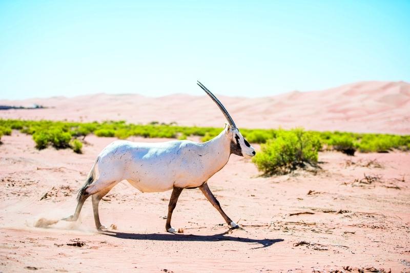 الصورة : إطلاق حيوان المها العربي من الأسر