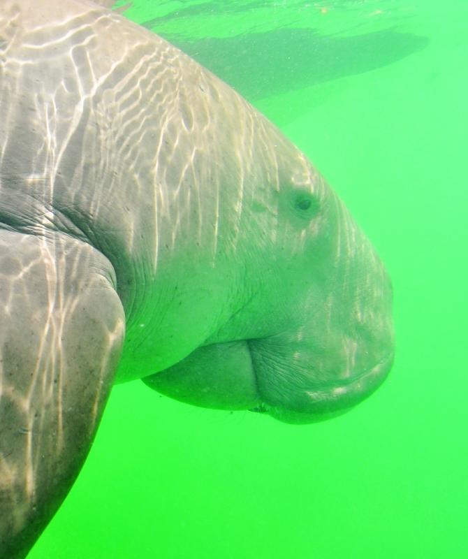 الصورة : أبقار البحر  | من المصدر