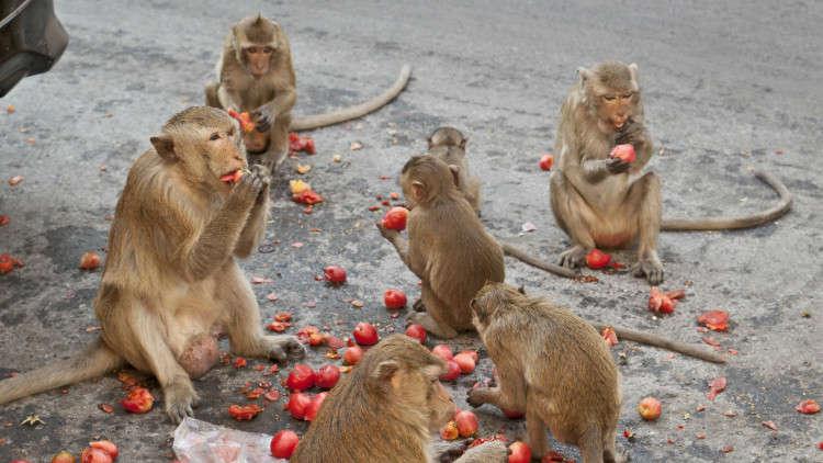 القرود تنهب محاصيل قرى تايلاند