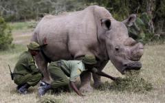 الصورة: نفوق آخر ذكر في العالم من وحيد القرن الأبيض