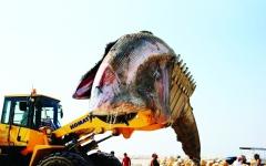 الصورة: بالفيديو..العثور على حوت نافق في مياه رأس الخيمة