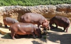 الصورة: الصورة: فرس النهر والتمساح يجتذبان زوار حديقة الحيوانات في العين
