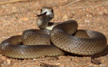 الصورة: لدغة ثعبان قاتلة تودي بحياة استرالي