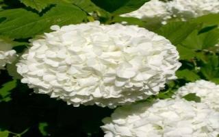 الصورة: تعرف إلى الزهرة التي استخدمت في إعداد كعكة الزفاف الملكي