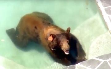 الصورة: دب يقتحم حوض سباحة منزلي هرباً من الحر