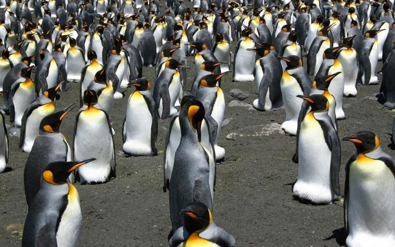 الصورة: 90 % تراجع أعداد البطريق الملكي في «إيل أو كوشون»