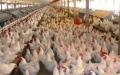 الصورة: تفشي انفلونزا الطيور شمالي ألمانيا