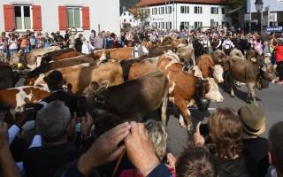 الصورة: مهرجان البقر