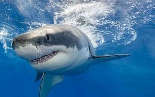 الصورة: أسماك القرش تهاجم السياح في الحاجز المرجاني العظيم