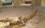 الصورة: شاهد في مصر بقايا حيتان عمرها 40 مليون سنة كانت تمشي!
