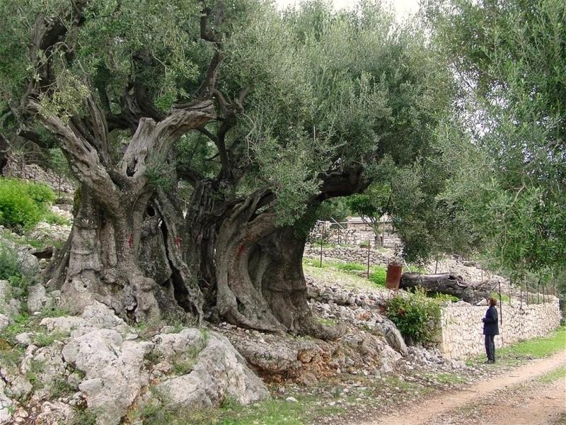 Image result for أقدم شجرة زيتون في فلسطين