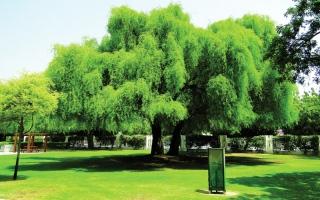 الصورة: الصورة: شجرة الغاف.. سامقة تعانق السماء وراسخة الجذور في القلوب