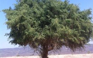 الصورة: الصورة: شجرة السدر أصل راسخ وفروع عالية