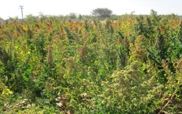 الصورة: الصورة: «إكبا» يوزع بذور الكينوا على 12 مزرعة في الإمارات