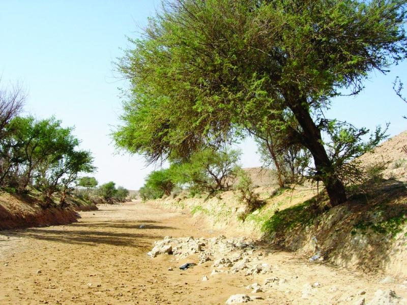 الصورة : Ⅶ  شجرة الغاف رمز وطني