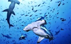 الصورة: الصورة: 72 نوعاً من أسماك القرش في المياه الإقليمية للدولة