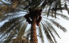 الصورة: الصورة: الإمارات ترسل بذور النخيل للفضاء
