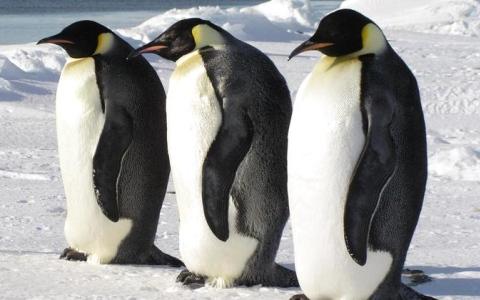 الصورة: الصورة: شيفرات جينية لطيور البطريق