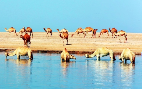 الصورة: الصورة: سفينة الصحراء