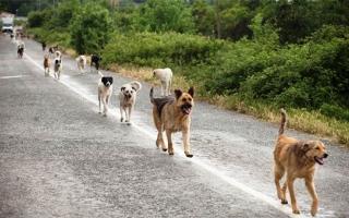 الصورة: الصورة: كلاب ضالة تأكل رضيعاً حياً