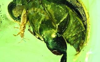 الصورة: الصورة: أول نموذج لحشرة ملقحة في التاريخ