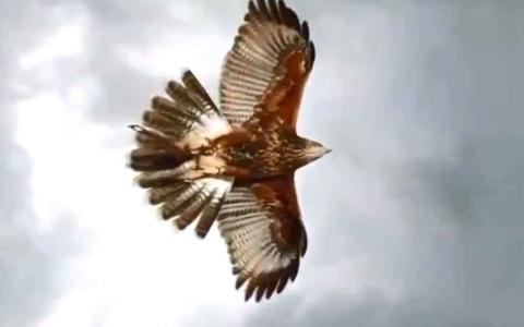 الصورة: الصورة: (فيديو) النسّر الملكي.. قوة ودقة وهيبة