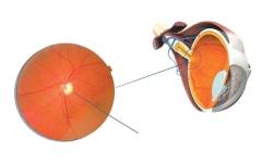 الصورة: الصورة: التهاب العصب البصري.. الألم وفقد البصر المؤقت أعراض شائعة