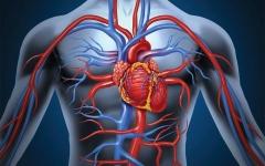 الصورة: الصورة: ابتكار قلب «روبوتي» يضخ الدم في جميع أنحاء الجسم