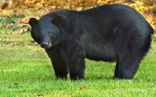 الصورة: الصورة: مرارة الدب الأسود وقرون الماعز لعلاج مرضى كورونا في الصين