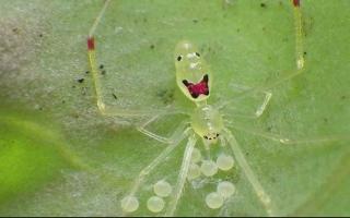 الصورة: الصورة: نانانانا ماكاكيي.. أو العنكبوت المبتسم