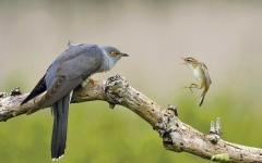الصورة: الصورة: لحظة توتر شديد بين طائرين تفوز بجائزة تصوير للطبيعة
