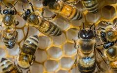 الصورة: الصورة: انتشار وباء فيروسي قاتل في أسراب النحل ببريطانيا