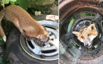 """الصورة: الصورة: الثعلب """"الماكر"""" يعلق في عجلة سيارة!"""