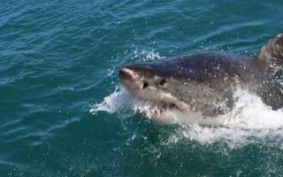 الصورة: الصورة: سمكة قرش تقتل راكب أمواج على الساحل الشرقي الأسترالي