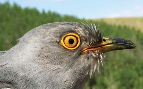 الصورة: الصورة: هجرة طائر الوقواق الملحمية تذهل علماء البيئة