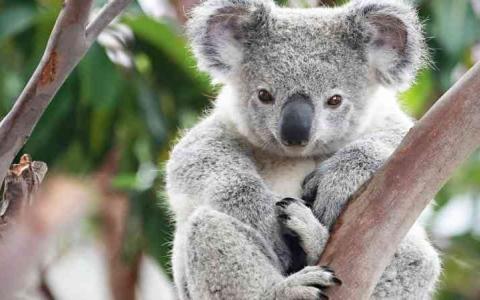 الصورة: الصورة: «الكوالا» الأسترالية مهددة بالانقراض