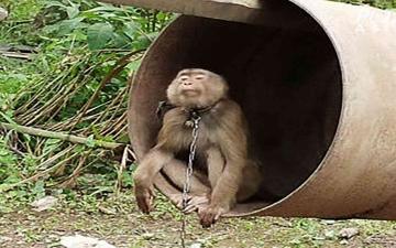الصورة: الصورة: شاهد.. قرود تعمل في جني ثمار جوز الهند في تايلاند