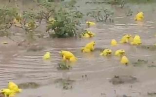 الصورة: الصورة: شاهد.. ظاهرة غريبة.. ضفادع هندية تتحول إلى اللون الأصفر لجذب الإناث للتزاوج