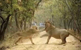 الصورة: الصورة: (فيديو) شأن عائلي في غابة.. لبؤة تصفع أسداً